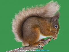 Photoshop完美抠出可爱的松鼠