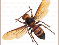 Illustrator网格实战:绘制真实的黄蜂