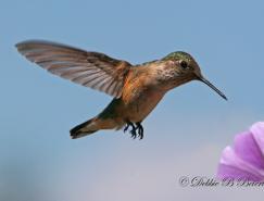 国外蜂鸟摄影作品欣赏
