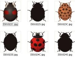 昆虫系列:矢量瓢虫下载