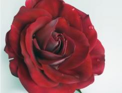 逼真的玫瑰花矢量素材