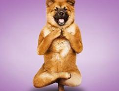 动物摄影:滑稽的狗狗做瑜伽