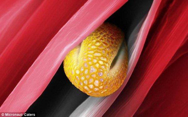 显微镜下的超美花粉摄影