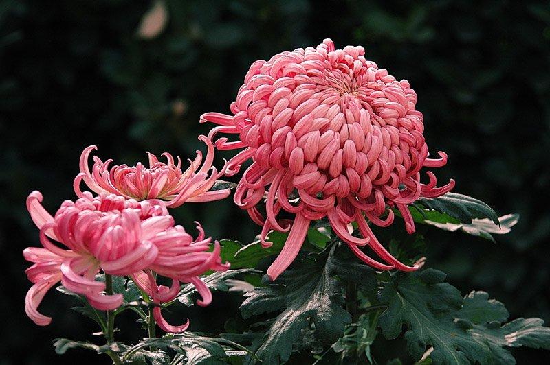 唯美的菊花摄影作品