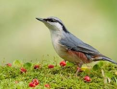 利用喂食进行鸟类摄影