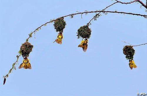 小鸟的家:鸟巢摄影作品(3)