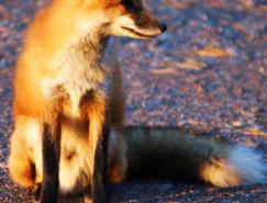 动物摄影欣赏:狐狸