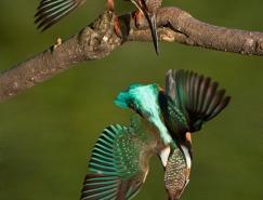 保加利亚BogdanBoev鸟类和动物摄影作品