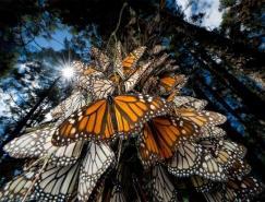 动物摄影欣赏:蝴蝶