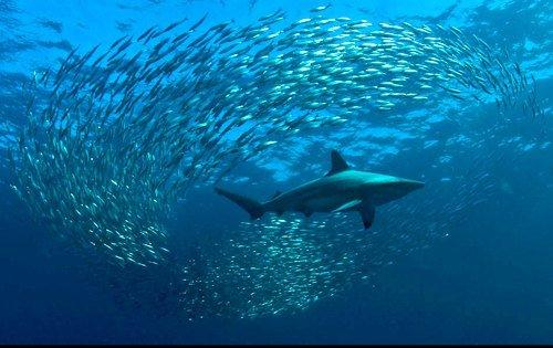 壁纸 动物 海洋动物 桌面 500_315图片