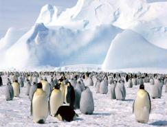 动物摄影欣赏:企鹅