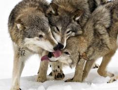 动物摄影欣赏:狼