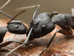 昆虫摄影:蚂蚁
