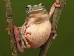 动物摄影欣赏:青蛙