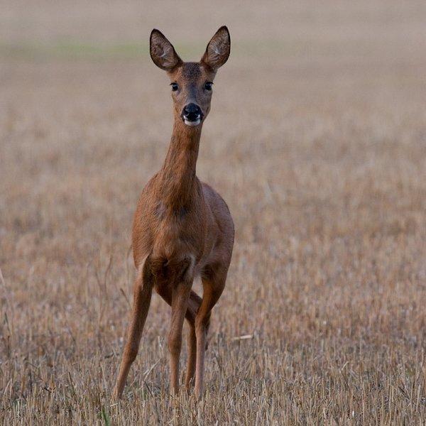 动物摄影欣赏:鹿(2)