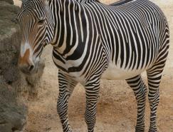 动物摄影欣赏:斑马