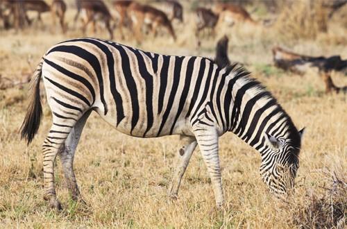 动物摄影欣赏:斑马(2)