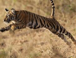 野生动物摄影:老虎