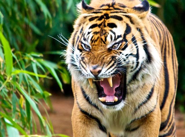 野生动物摄影:老虎(2)