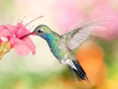 30张漂亮的蜂鸟摄影欣赏