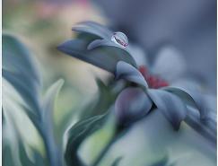 微距摄影欣赏:叶上的露珠