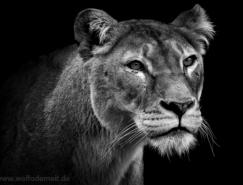 WolfAdemeit黑白动物肖像摄影
