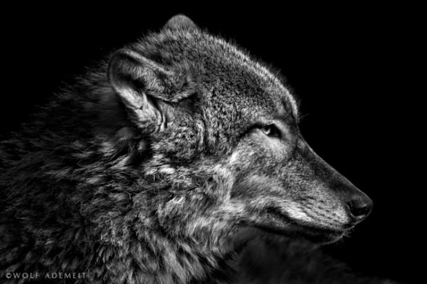 ademeit黑白动物肖像摄影