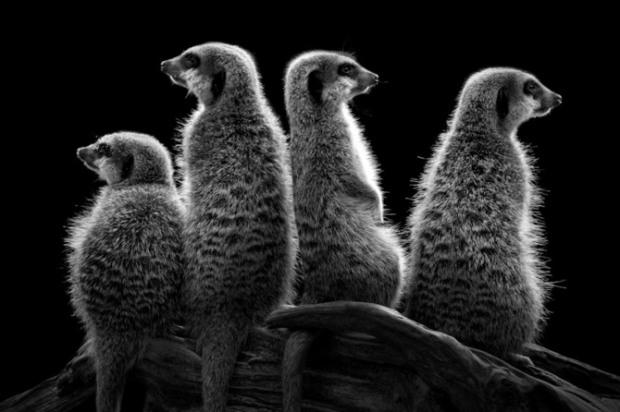 ademeit黑白动物肖像摄影(3)