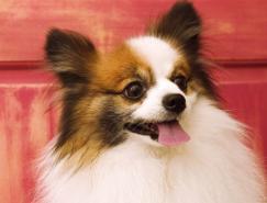 利用PS通道混合器及画笔抠出毛发较多的宠物狗