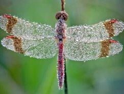 David Chambon微距摄影:裹满露水的昆虫