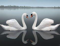 动物摄影欣赏:天鹅(二)