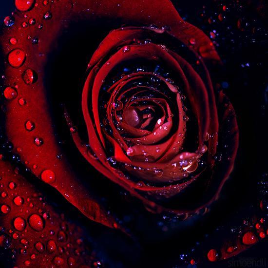 摄影欣赏:精致的玫瑰花图片