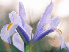 Constance Fein Harding花卉摄影作品