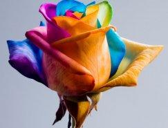 45张漂亮的玫瑰花摄影图片欣赏