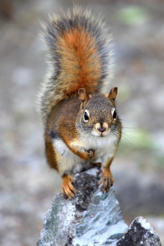 动物摄影欣赏:可爱的松鼠