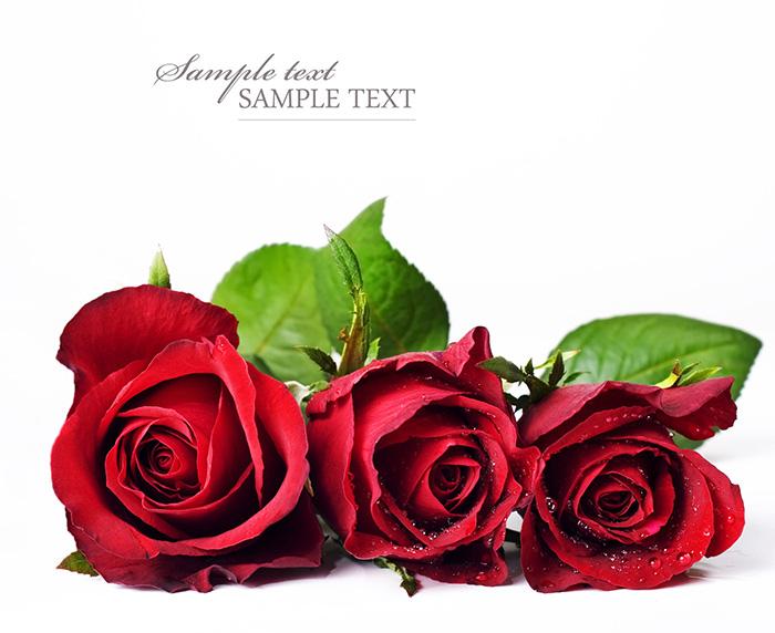 素材 高清图库 花卉    玫瑰花,绿叶,高清图片