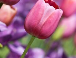 粉红郁金香高清图片