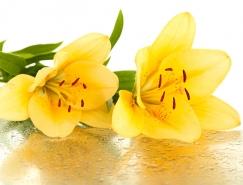 黄色百合花高清图片