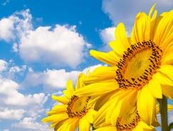 漂亮的向日葵高清图片