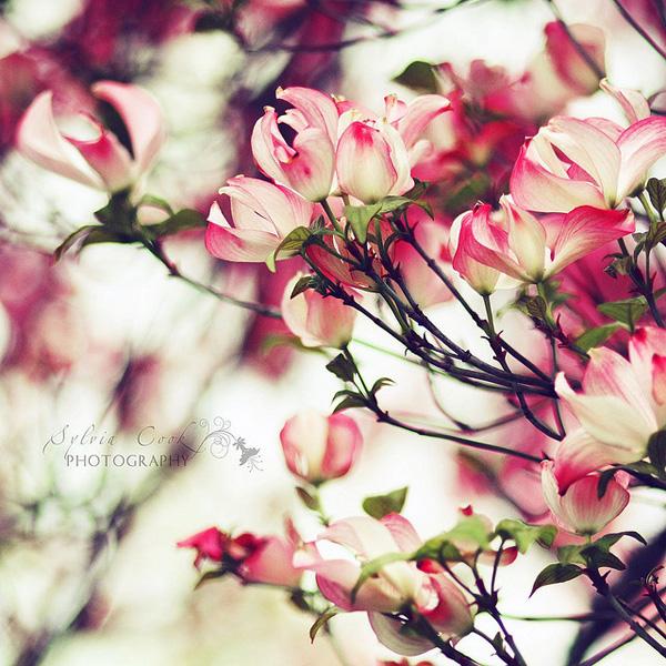 Sylvia Cook复古风格花卉摄影欣赏