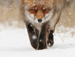 35個可愛的狐狸圖片欣賞