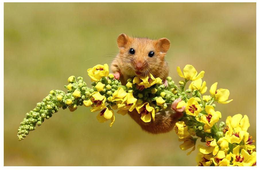 26张可爱的小老鼠摄影图片欣赏