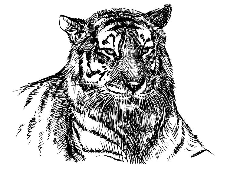 老虎肖像素描矢量素材