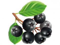 黑莓水果矢量素材