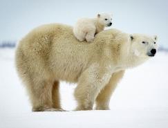 David Jenkins摄影作品:温情北极熊