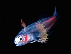 Joshua Lambus鏡頭下美妙的深海生物