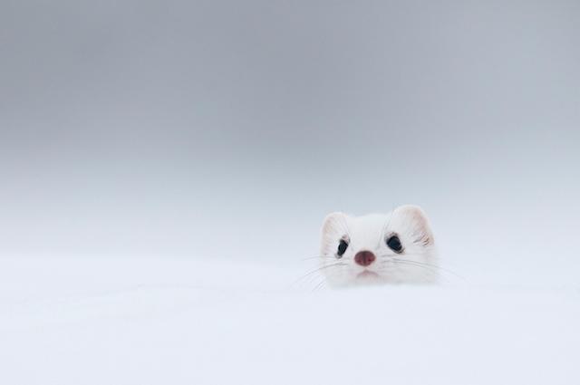 动物摄影欣赏:雪中可爱的貂