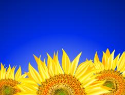 漂亮的向日葵背景矢量素材