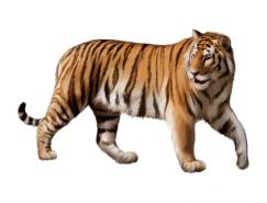 老虎矢量素材