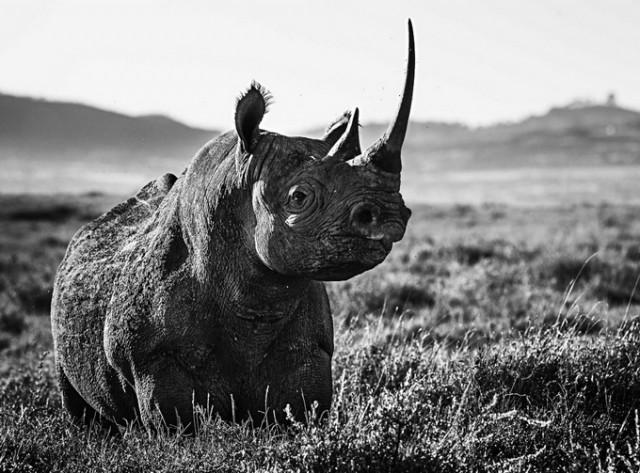 david yarrow黑白动物肖像摄影作品